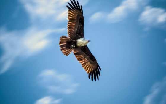 ,, птица, хищная птица, орел, accipitriformes, accipitridae, клюв, небо, Сокол, бумажный змей, беркут,