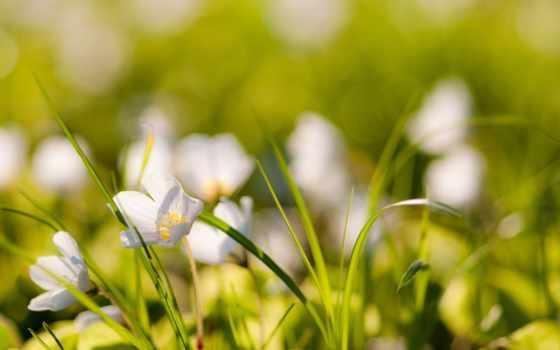 белые, цвета, цветы