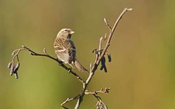 воробей, branch, птица