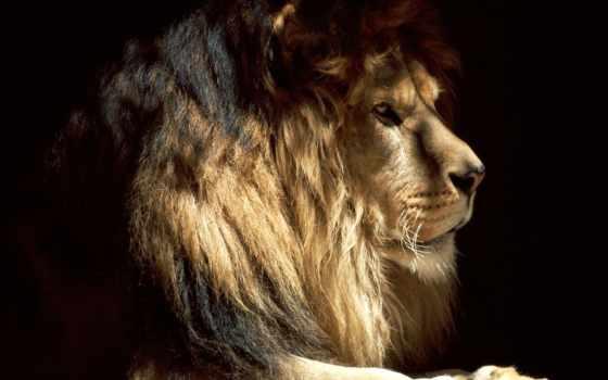 lion, zhivotnye, тени