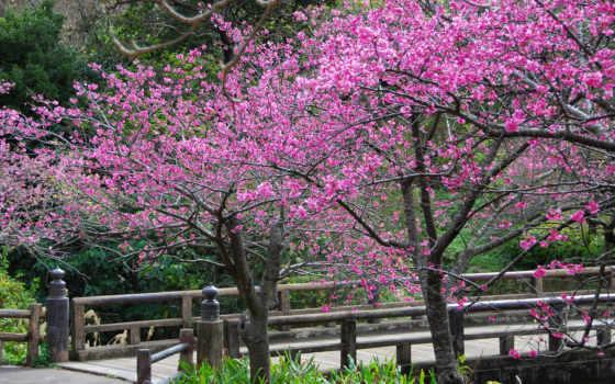 весна, cvety, лепестки, пришла, Сакура, trees,