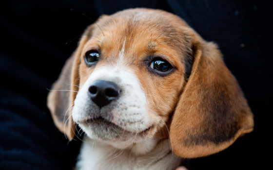 beagle, щенок, породы