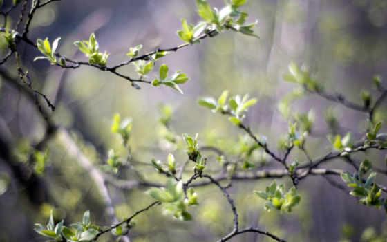 первые, листва, trees, листочки, природа, весной, деревьях,