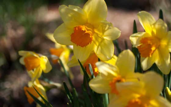 нарциссы, цветы, разных