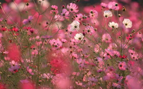 цветы, космея, розовые, поле, макро,