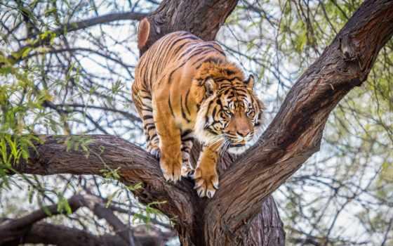 тигр, коллекция, тигры Фон № 103603 разрешение 1920x1080