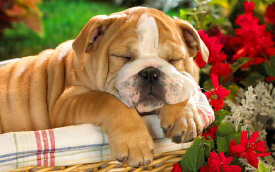 собаки, собака, щенок Фон № 124719 разрешение 1920x1200