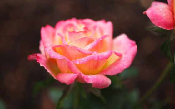 роза, roses, types, hybrid, розовый, different, чая, are,