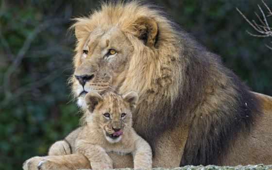 lion, большой, вконтакте, фотографий, львенок, small, profile, другую, информацию,