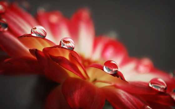 капли, красивые, cvety, solid, роса,
