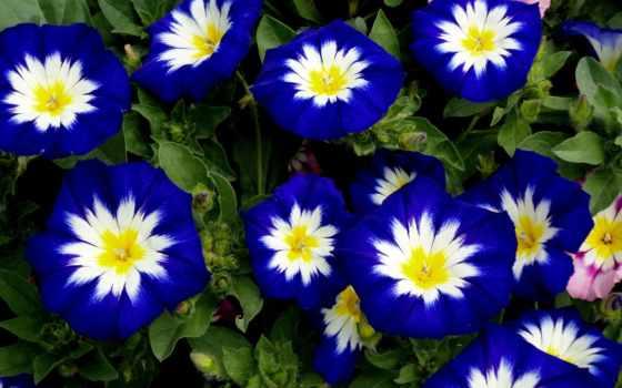 blue, cvety, white