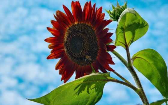 подсолнух, red, цветы, merah, matahari, murah