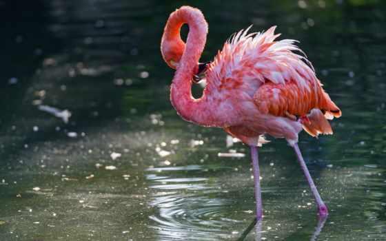 фламинго, птица, вода