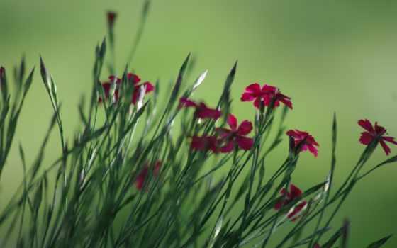 гвоздики, цветы