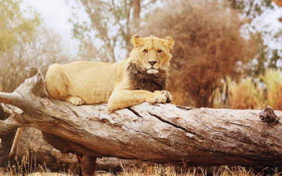 lion, лежит, изображение