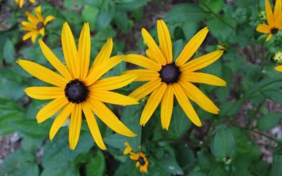 рудбекия, цветы,