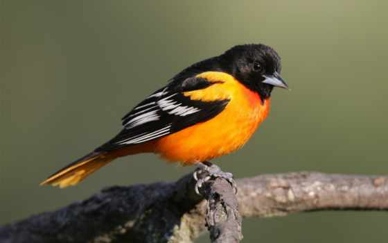 птица, певчая, разгадывание