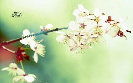 cherry, цветущая, цветы