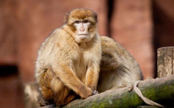 обезьяна, обезьяны,