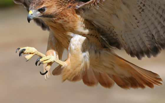 птица, птицы, hawk