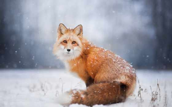 фокс, лис, снег, winter, лисы,