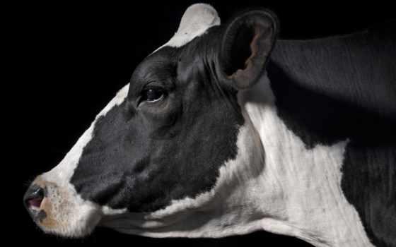 cow, голова, коровы, profile, spotted, быка, коров, крупным, планом,