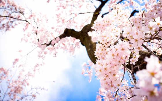 цветы, ветки, небо, весна, Сакура,,