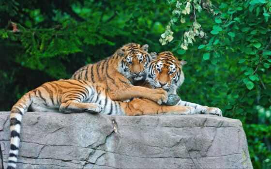 тигр, тигренок Фон № 19404 разрешение 1920x1200