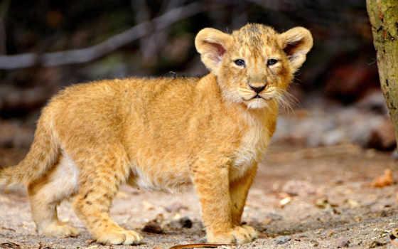 lion, cubs, cute, детёныш, baby, животных,