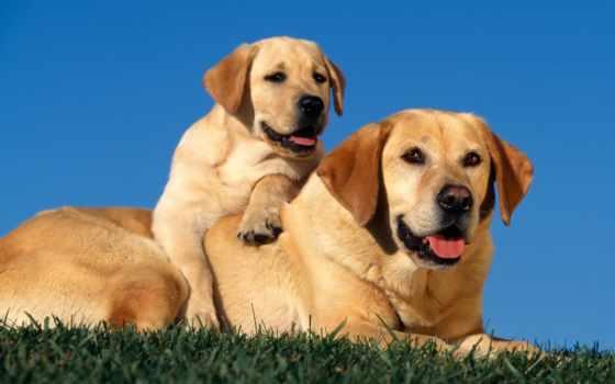 perros, labrador, labradores, retriever, que, los, fotos, gratis, una,