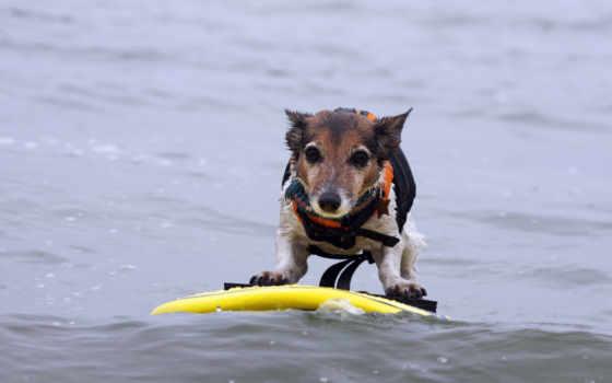сёрфинг, dogs, desktop, water, собака, фон,