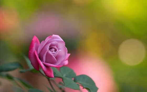 саду, розы, распустились, нашем, страница, цитат, за, цитатник, свой, community, распустилась,