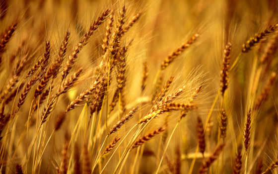 rye, поле, макро, пшеница, sun,