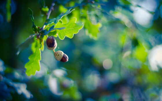 дуб, листва, дерево, ветки, благо, блики, жёлуди,