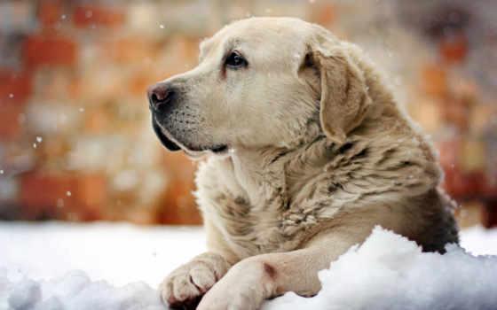 retriever, золотистый, zhivotnye, собака, собаки, снег, снегу, winter, фон, white,
