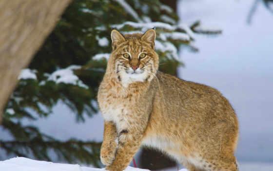 winter, bobcat, les, piccolo, снег, онтарио, канада,