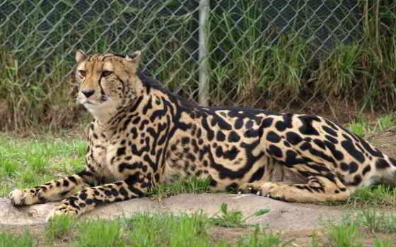 гепард, royal, кот