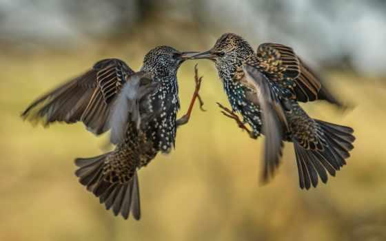 walka, ptaki, ptaków, zapytam, breakout, tapety, dwa, youtube,