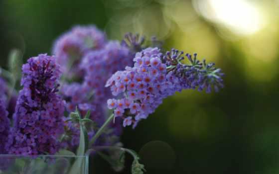 flowers, purple, desktop, цветы, два, wallippo, free,