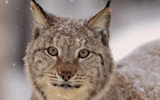рысь, морда, взгляд, снег, spotted, хищник, ус,