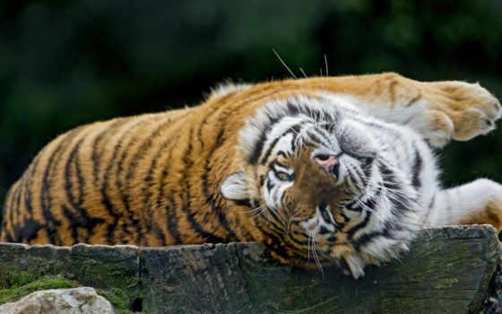 тигр, tigers, животных, пушистики, разные, glance, тигры, zhivotnye,