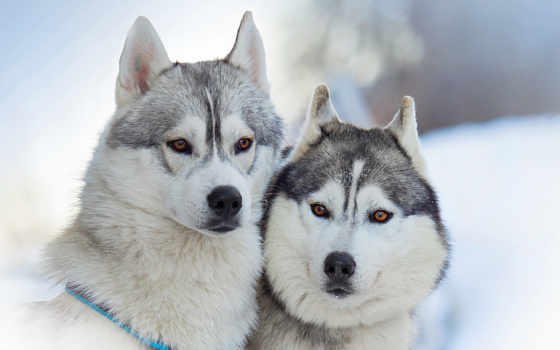 собаки, хаски, красавица, собака, друзья, две, породы, понравилось, гав, взгляд,