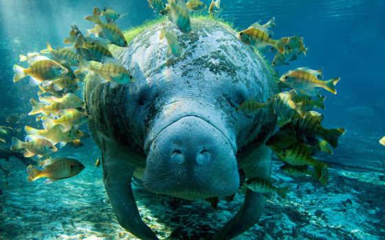 manatee, underwater, ламантины, zhivotnye, world, море, природа, риф, pisces,
