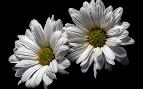 white, iphone, mac, flowers, cvety, фон, ромашка, black,