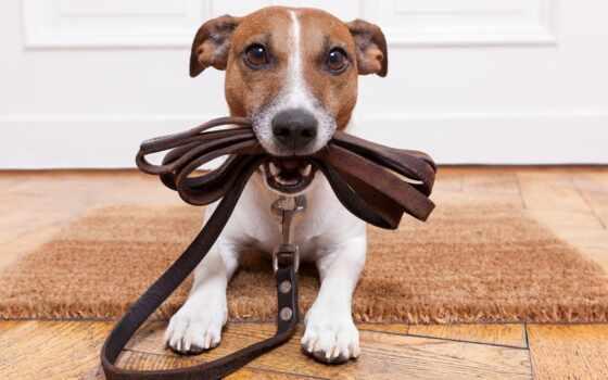 собака, порода, house, впервые, питомец, плоский, paddock, площадь, rasset, джек, бультерьер