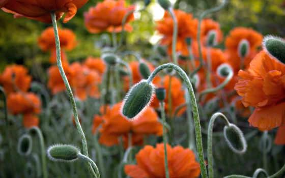 маки, цветы Фон № 2203 разрешение 1920x1080