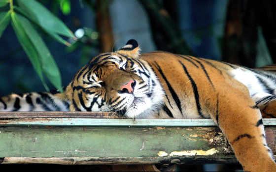 тигры, балла