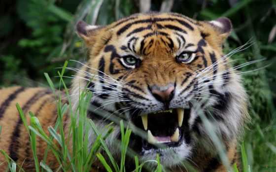 тигры, оскал, животные, хищник, грозный, рык, морда,