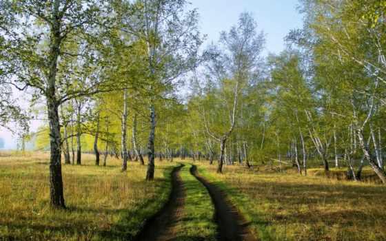 grove, березовая, деревя, березы, лес, осень,