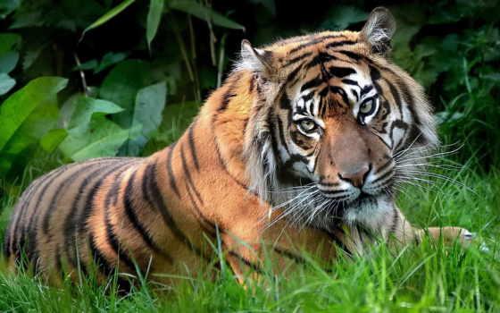 тигр, трава, zhivotnye
